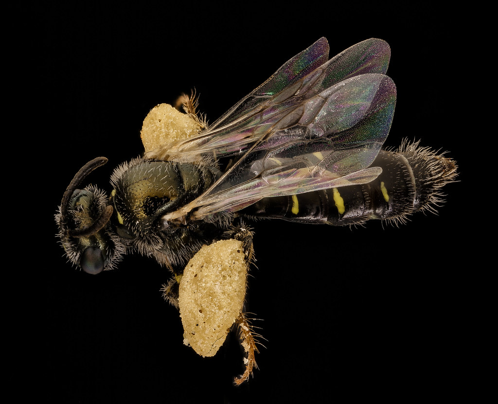 Perdita bradleyi, one of the bees caught in the sand <br />barrens habitat at Jug Bay, with pollen loads on her <br /> hind legs. Photo by Sam Droege (USGS)