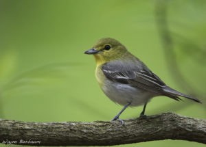 Yellow-throated Vireo-Wayne Bierbaum-permission 4.17.18